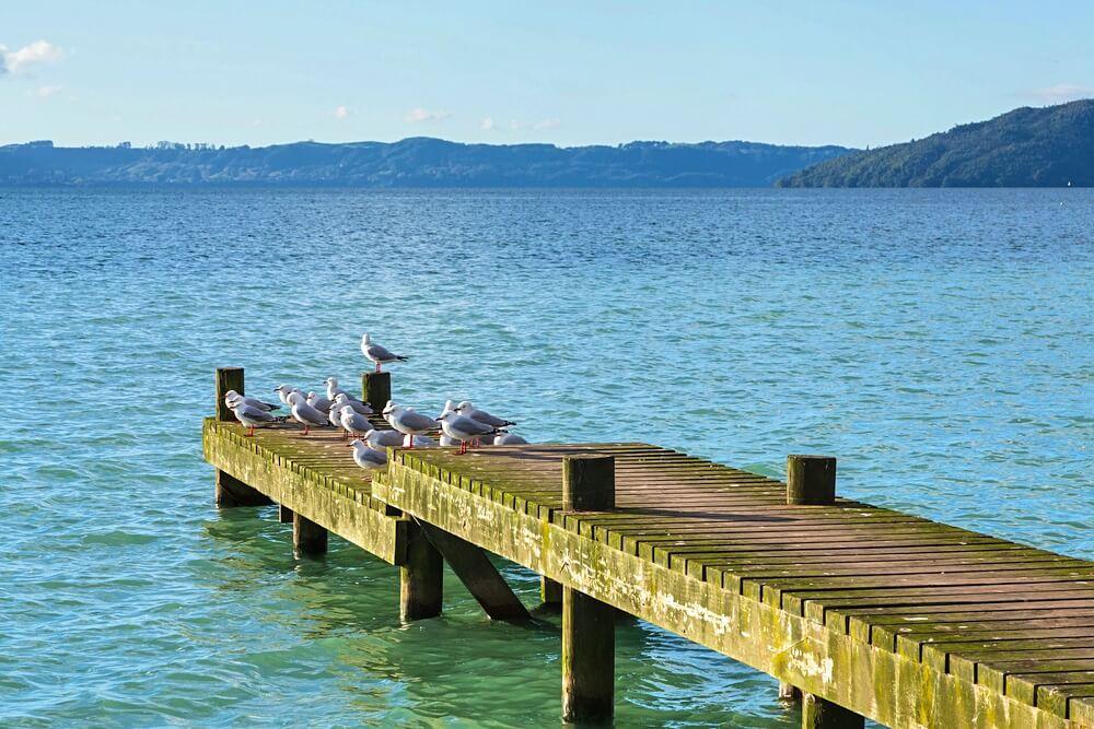 lake rotorua gulls